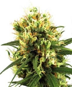 white-haze-autofloracion-photo